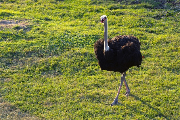 Struś chodzi po trawie w naturalnym środowisku zoo.