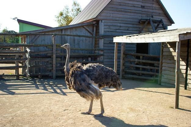 Struś spaceruje po terenie swojego wybiegu w zoo