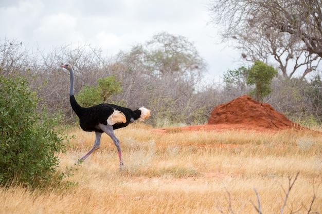 Struś w krajobrazie sawanny w kenii