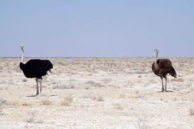 Struś w parku narodowym etosha - namibia