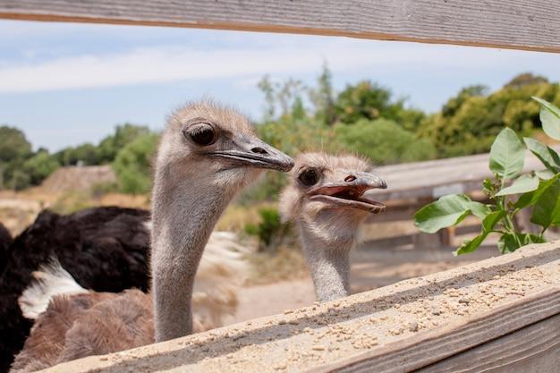 Struś za płotem na farmie strusi lub zoo grupa strusi pospolitych za drewnianą bramą czeka na jedzenie