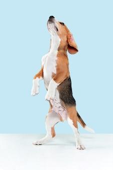Strzał studio szczeniaka rasy beagle na niebieskiej ścianie