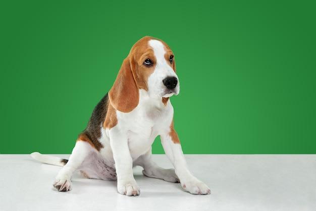 Strzał studio szczeniaka rasy beagle na zielonym tle studia