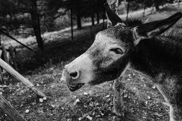 Strzał w skali szarości przedstawiający głowę osła na farmie