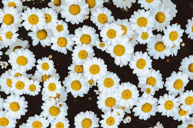 Strzał z góry pola kwiatu rumianku stokrotka