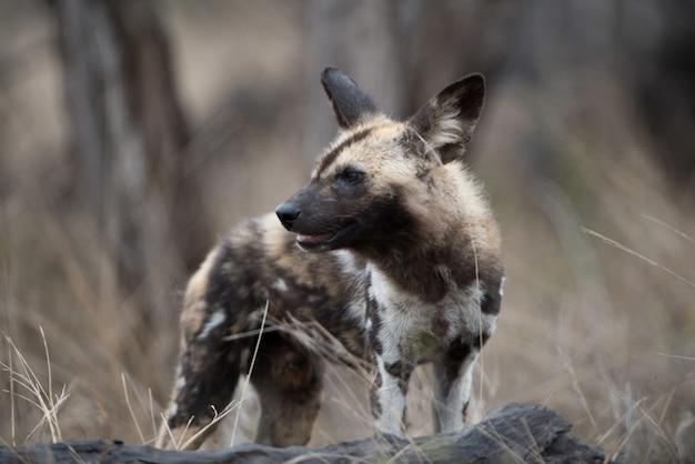 Strzał zbliżenie afrykańskiego dzikiego psa