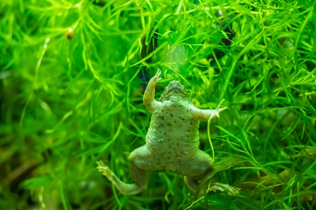 Strzał zbliżenie afrykańskiej żaby szponiastej