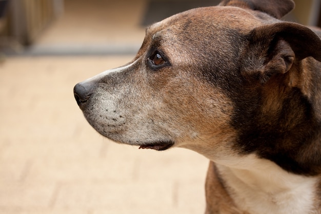 Strzał zbliżenie american staffordshire terrier