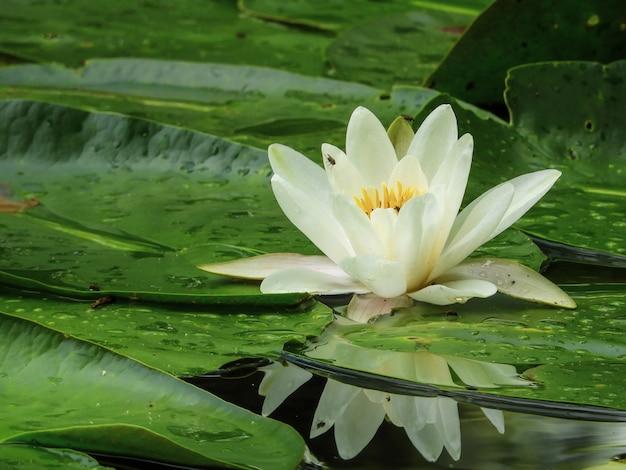 Strzał zbliżenie biała lilia wodna w słońcu w ciągu dnia