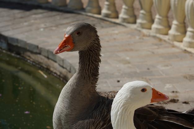 Strzał zbliżenie białych i szarych gęsi stojących w pobliżu jeziora w parku