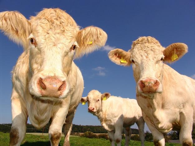 Strzał zbliżenie białych krów wypasanych na polach