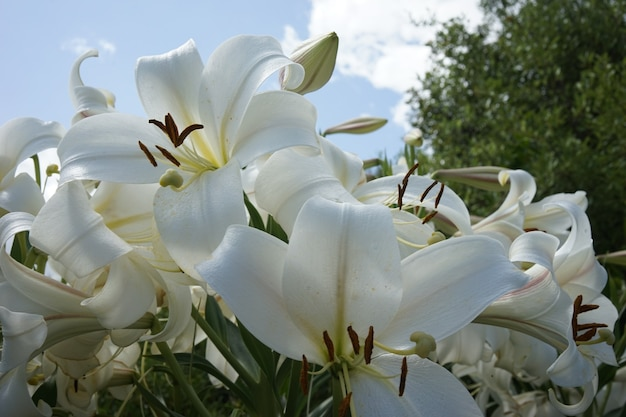 Strzał zbliżenie białych lilii w ogrodzie pod błękitnym niebem