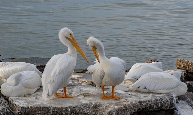 Strzał zbliżenie białych pelikanów siedzących na kamiennej powierzchni wewnątrz oceanu