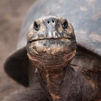 Strzał zbliżenie brązowego żółwia galapagos