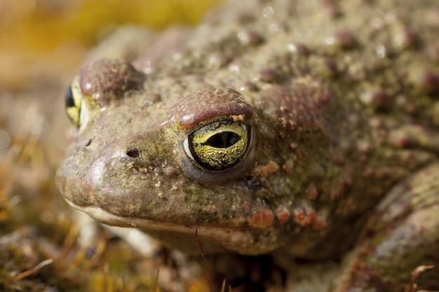 Strzał zbliżenie brzydkiej żaby z oślizgłą skórą i przerażającymi zielonymi oczami