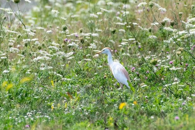 Strzał zbliżenie cattle egret
