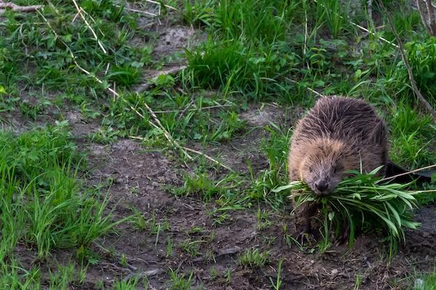 Strzał zbliżenie cute nornica jedząca trawę w środowisku naturalnym