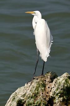 Strzał zbliżenie czapli białej (ardea alba) stojącej na skale w wodzie