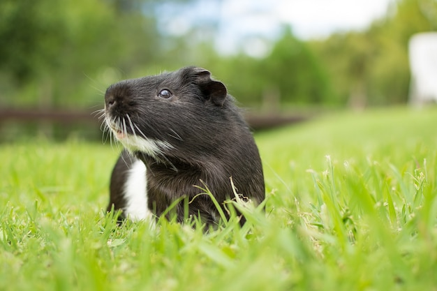 Strzał zbliżenie czarno-białe świnki morskiej na trawie