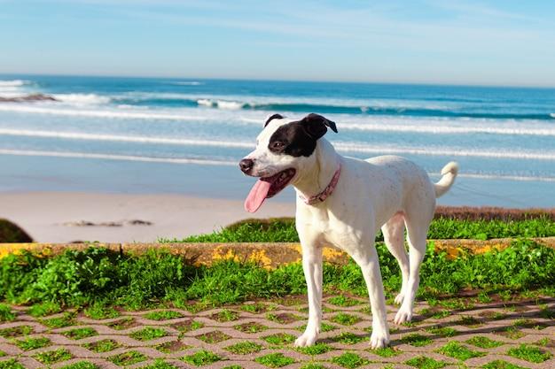 Strzał zbliżenie czarno-biały russell terrier na plaży