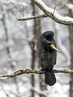 Strzał zbliżenie czarny ptak siedzący na śnieżnej gałęzi drzewa