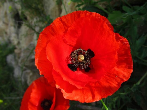 Strzał zbliżenie czerwony kwiat maku na wyspach maltańskich na malcie