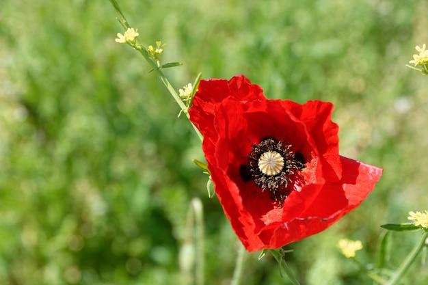 Strzał zbliżenie czerwony kwiat maku