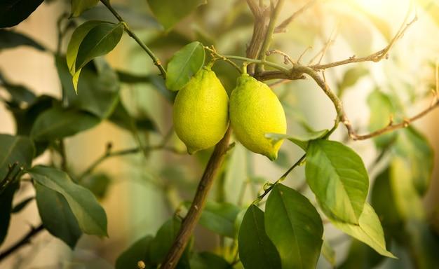 Strzał zbliżenie dojrzałych cytryn rosnących na drzewie w słoneczny dzień