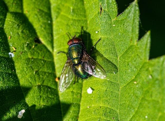 Strzał zbliżenie duża mucha na zielonym liściu