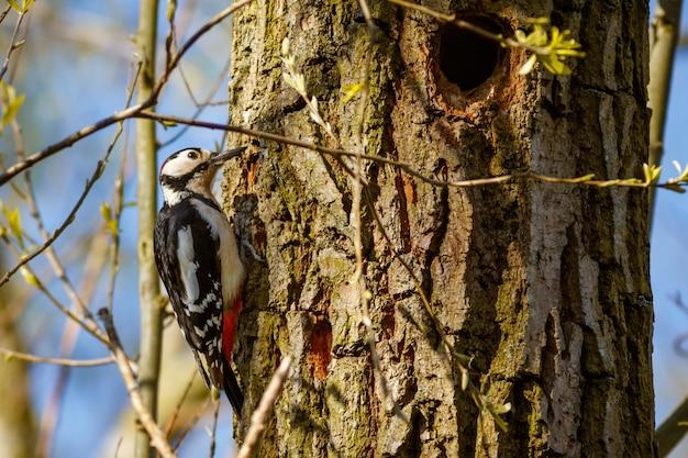 Strzał zbliżenie dzięcioła na drzewie