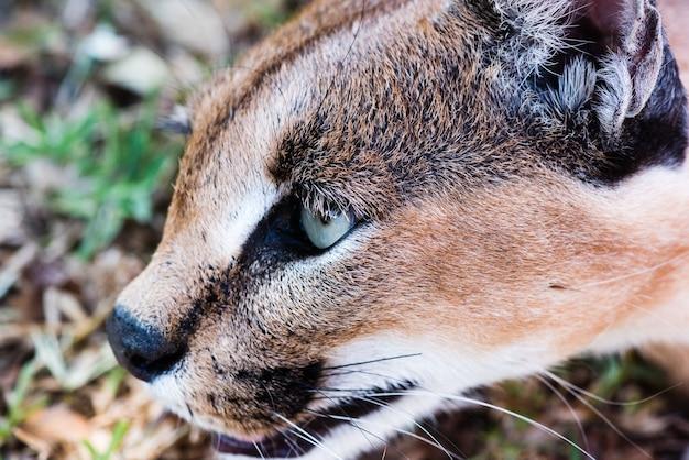 Strzał zbliżenie dzikiego caracal z zielonymi oczami