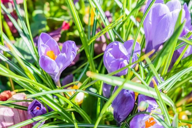 Strzał zbliżenie fioletowe i białe wiosenne kwiaty krokusy