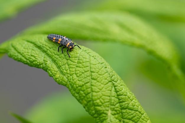 Strzał zbliżenie gąsienica biedronka na zielonym liściu