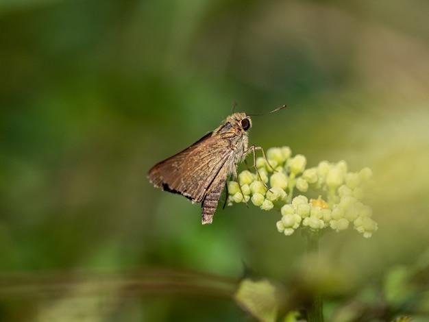 Strzał zbliżenie gatunków trawy skipper motyl w pobliżu yokohama