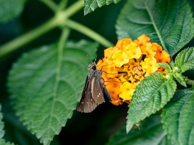 Strzał zbliżenie gatunku szyper trawy na żółtym kwiacie w japońskim parku