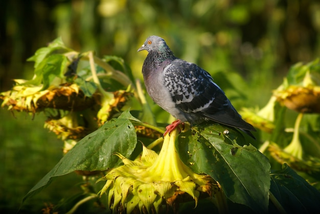 Strzał zbliżenie gołębia siedzącego na suchych słonecznikach