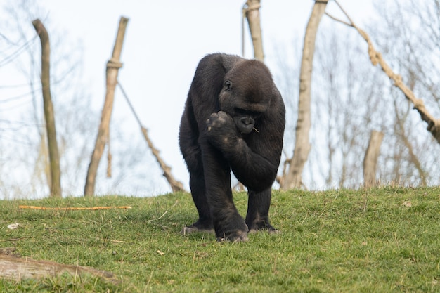 Strzał zbliżenie goryl oddanie trawy w ustach w zoo