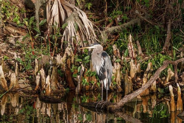 Strzał zbliżenie great blue heron obok wody w lesie