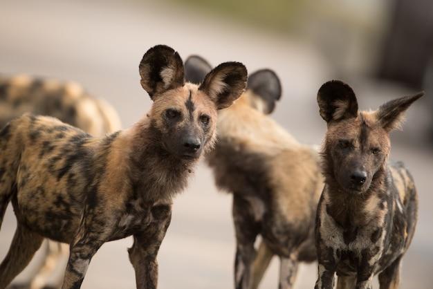 Strzał zbliżenie grupy afrykańskich dzikich psów