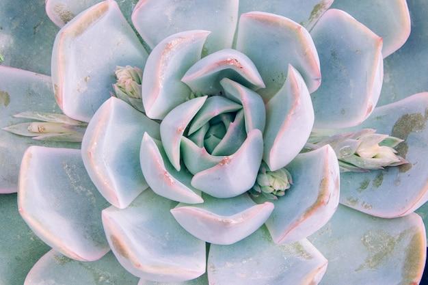 Strzał zbliżenie jasnoniebieskich kolorowych elegants echeveria
