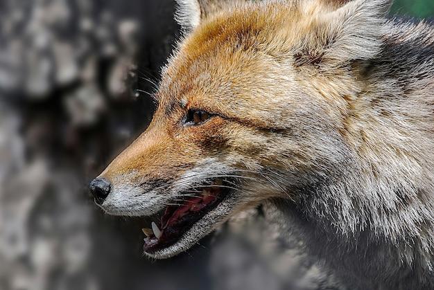 Strzał zbliżenie jasny brązowy lis w ciągu dnia