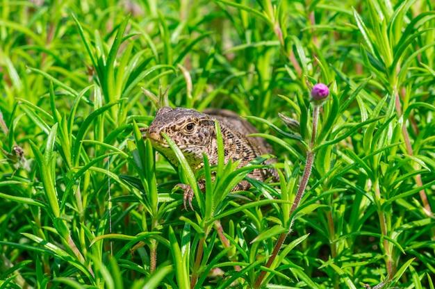 Strzał zbliżenie jaszczurka zwinka (lacerta agilis) przeszukiwania na trawie