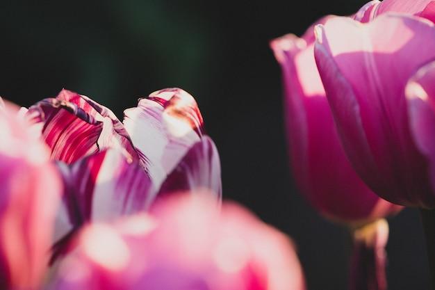 Strzał zbliżenie jednego białych i fioletowych tulipanów w fioletowym polu tulipanów - koncepcja indywidualności