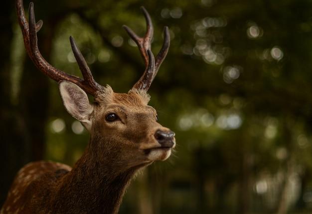 Strzał zbliżenie jelenia w nara park w japonii
