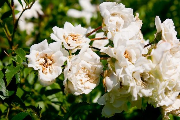 Strzał zbliżenie kilka białych kwiatów obok siebie na gałęzi
