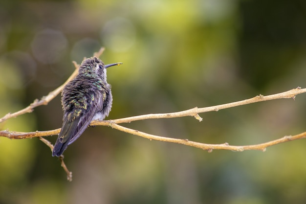 Strzał zbliżenie kolibra siedzącego na gałęzi drzewa