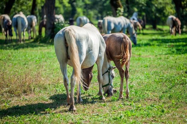 Strzał zbliżenie koni wypasanych w lipica, park narodowy w słowenii