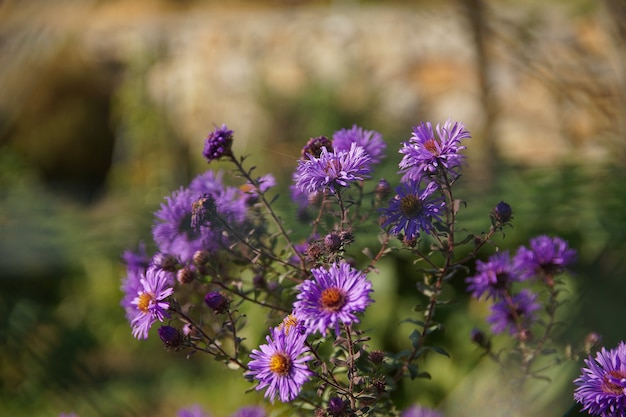 Strzał zbliżenie krzewu fioletowych kwiatów aster nowej anglii