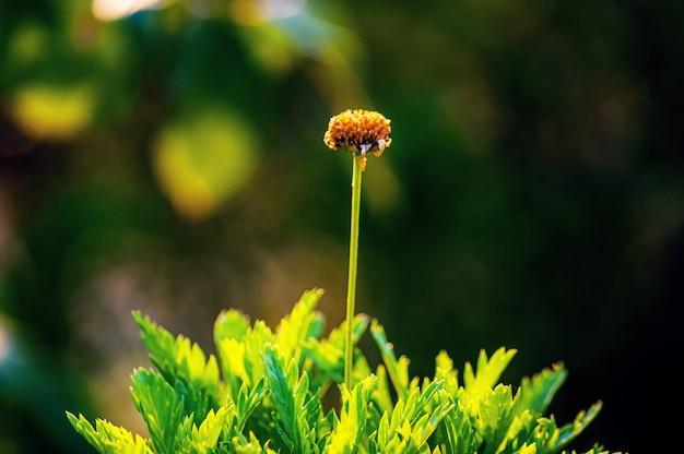 Strzał zbliżenie kwiat chryzantemy