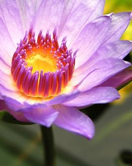 Strzał zbliżenie kwiat lotosu